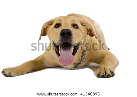 funny picture of a labrador retriever puppy over white background