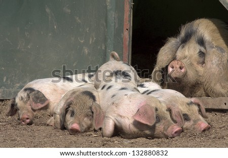 Funny picture of piglets with mummy pig looking over them.  The piglets and mum live happily on a small scale biological and animal-friendly farm - stock photo