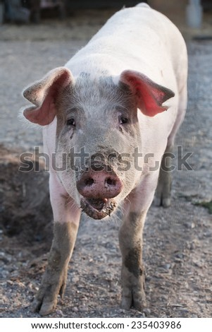 funny pig standing front view on animal farm background - stock photo