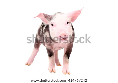 Funny piglet standing isolated on white background