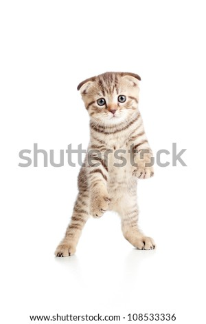 Funny playful kitten is dancing. Isolated on white background - stock photo