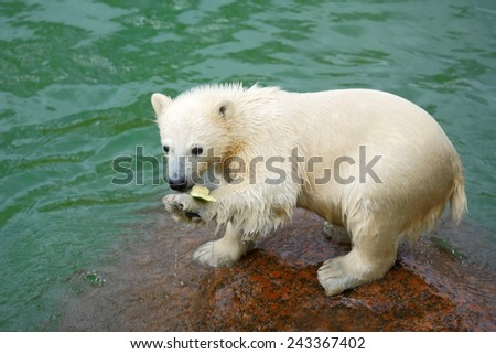 Funny polar bear cub and water-melon crust - stock photo