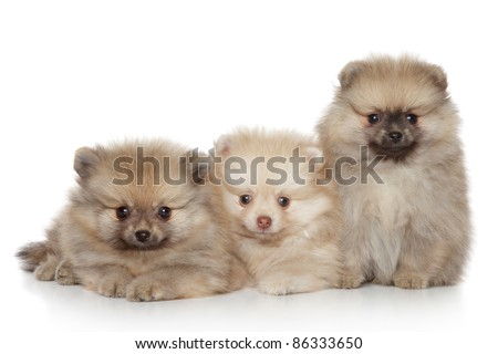 Funny Pomeranian Puppies lying on a white background - stock photo