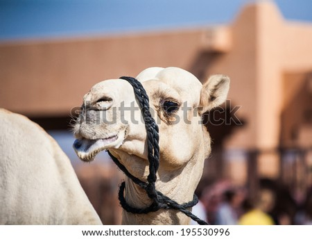 Funny portrait of a camel in the Middle East - stock photo