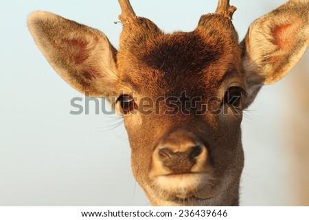 funny portrait of a fallow deer buck ( Dama ) - stock photo
