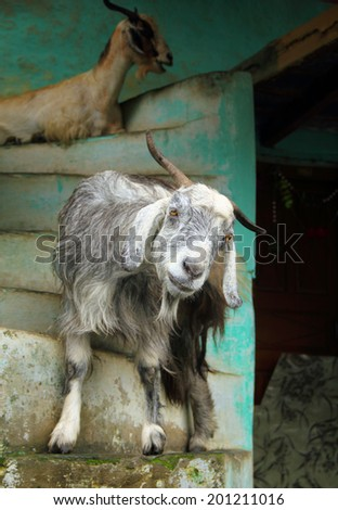 Funny portrait of a grey and white goat against the background of a house scale in Dharamsala city, Himachal Pradesh, Northern India, Central Asia - stock photo