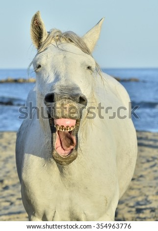 Funny portrait of a laughing horse. Camargue horse yawning, looking like he is laughing. - stock photo