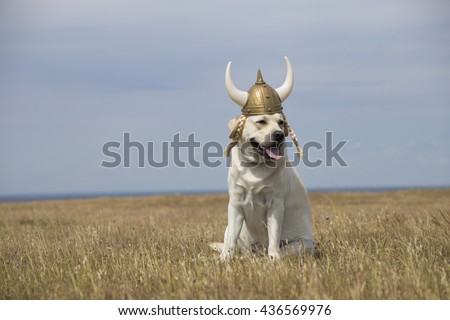 funny portrait of adult yellow labrador retriever sitting on field with yellow glass and small flowers with blue sky and sea on background and wearing viking plastic hat with horn and tails - stock photo