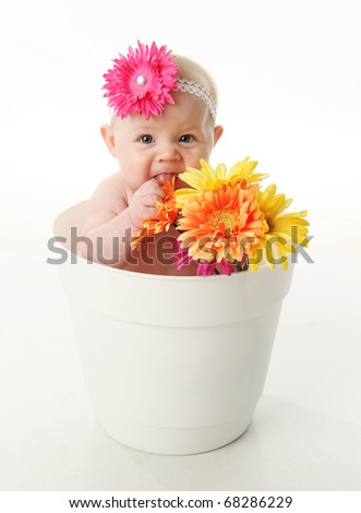 Funny portrait of an adorable baby girl sitting in a white flower pot along with bright gerbera daisies, eating the flowers - stock photo