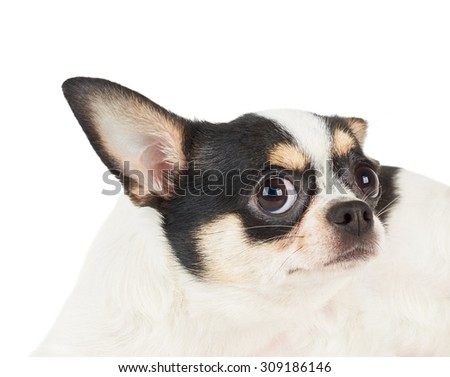 Funny portrait of Chihuahua with widely open eyes isolated on white background                          - stock photo