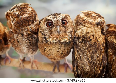 Funny portrait of curious baby owl with wide opened eyes sitting on perch side by side among group of another birds.  - stock photo