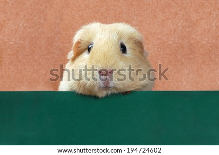 funny portrait of guinea pig - stock photo
