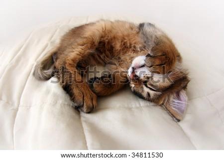 Funny Portrait of ruddy Somali kitten - stock photo