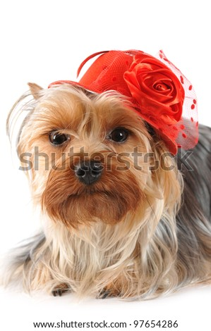 Funny portrait of yorkshire terrier in red hat isolated on white