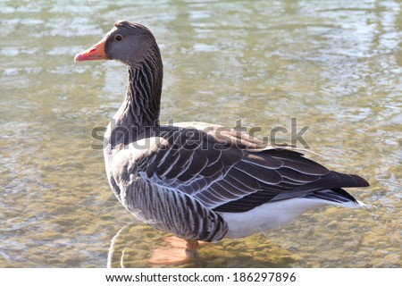 Funny proud goose standing in the water - stock photo