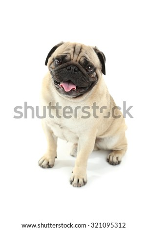 Funny pug dog isolated on a white