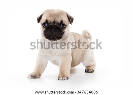 Funny pug Puppy looking at the camera (isolated on white) - stock photo
