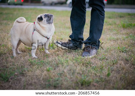 Funny pug standing on a grass near a street and looking up at owner. - stock photo