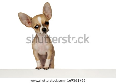 Funny puppy Chihuahua isolated on a white background with space for text.