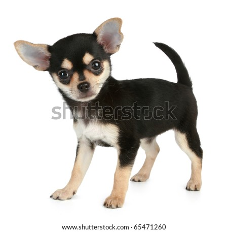 Funny puppy Chihuahua (2 months) stands on a white background - stock photo