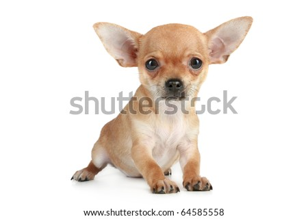 Funny puppy chihuahua on a white background - stock photo