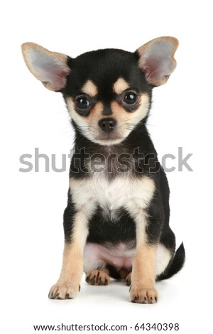 Funny puppy chihuahua sits on a white background