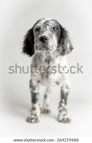 Funny puppy of english setter in stand up position, looking in camera. White background - stock photo