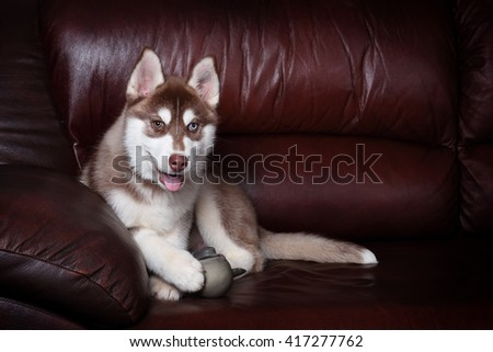Funny puppy with a toy on the couch