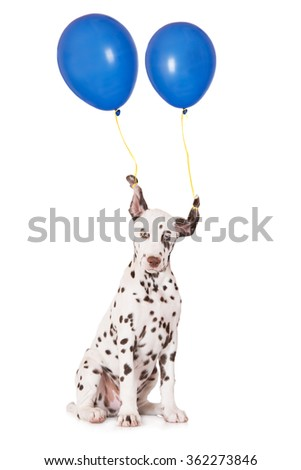 funny puppy with balloons tied to his ears