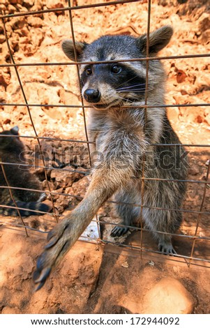 Funny raccoon (Procyon lotor) begging for food on the island Zakynthos in Greece - stock photo