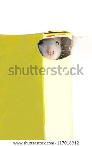 funny rat in box - stock photo