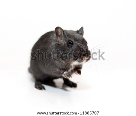 funny rat on white background