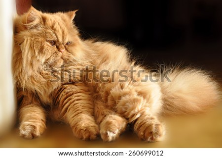 Funny red cat sitting on the floor in a funny pose. - stock photo