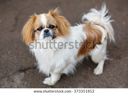 Funny red-haired pekingese dog look in camera - stock photo