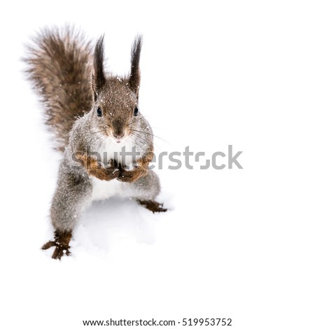 funny red squirrel with fluffy tail standing on the snow and looking in camera