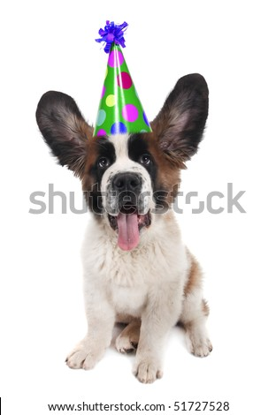 Funny Saint Bernard With a Birthday Hat on With Ears Up - stock photo