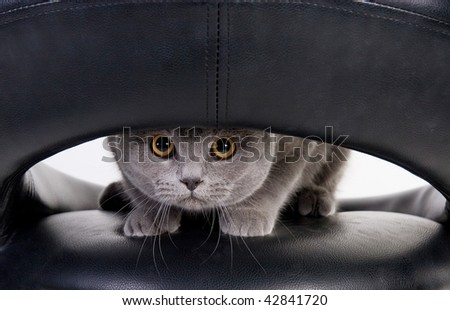 Funny Scottish cat peeping through the hole - stock photo