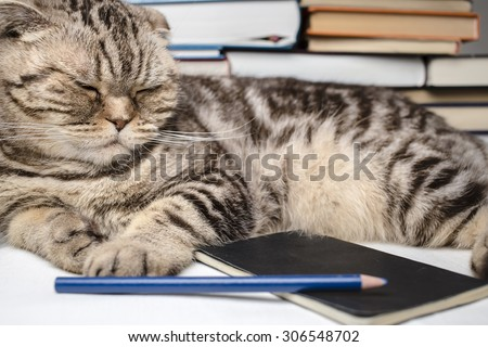 funny Scottish Fold cat doing homework, she was tired and fell asleep among the study books, notebook and pencil.