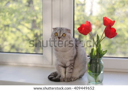 Funny Scottish Fold cat sitting next to tulips in front of the window. Selective focus - stock photo