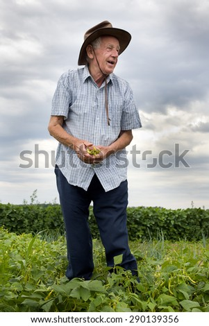 Funny senior peasant picking yellow beans in the field - stock photo