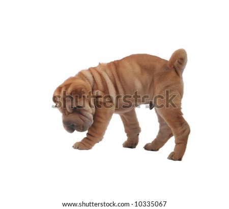 Funny sharpei dog with isolated white