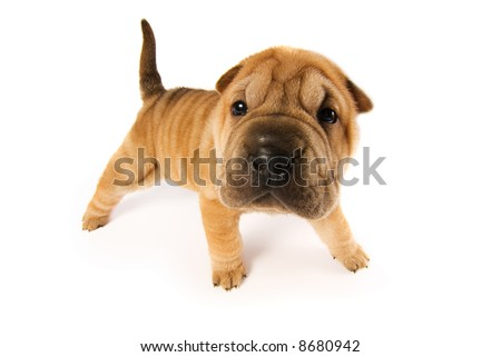 Funny sharpei puppy isolated on white background (studio shot) - stock photo