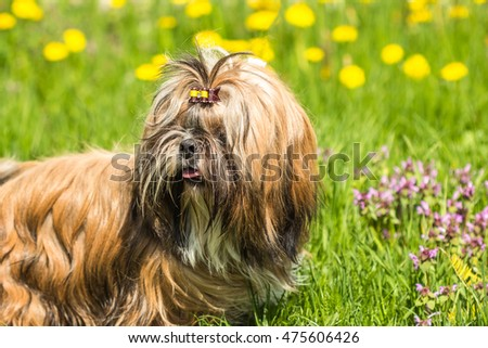 Funny Shih Tzu dog sitting in green grass