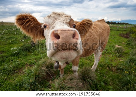 Funny shot of a cute cow - stock photo