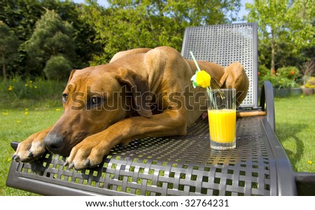 funny shot of a young dog lying on a sun-bench and protecting a fresh glass of orange juice - stock photo