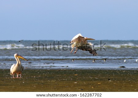 funny shot with two pelicans looking tranquil how the third take off - stock photo