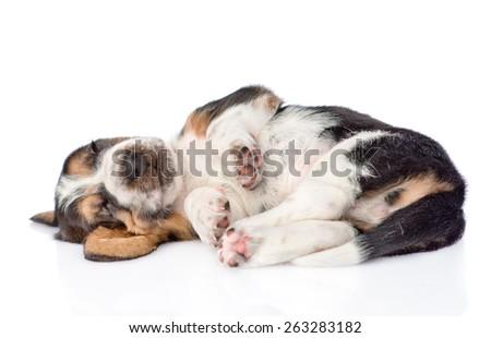 Funny sleeping Basset hound puppy. isolated on white background - stock photo