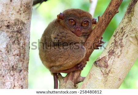 Funny sleepy tarsier sitting on a tree - stock photo