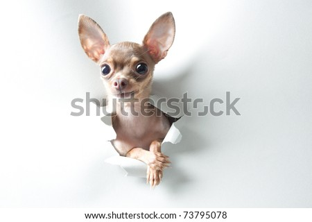 Funny small dog with big eyes and ears - stock photo