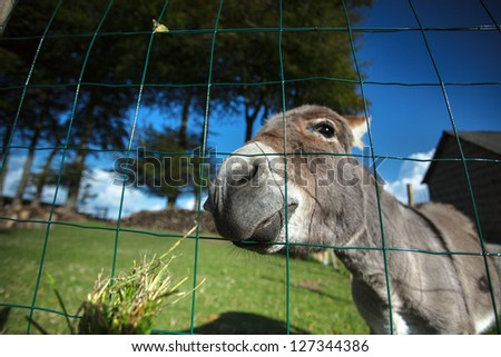 Funny small grey donkey in his fenced area on the grass